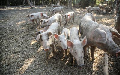 Peste suina, sequestrate 10 tonnellate di carne cinese nascosta nel doppio fondo di un camion.