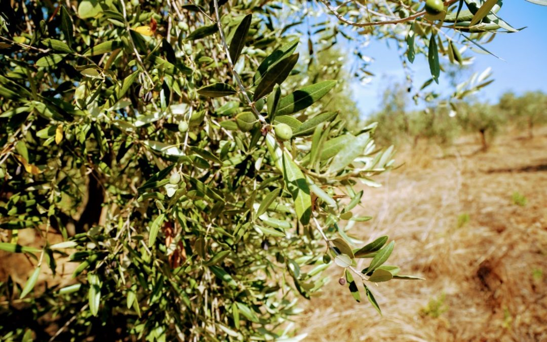 L'olio extra vergine d'oliva Toscano