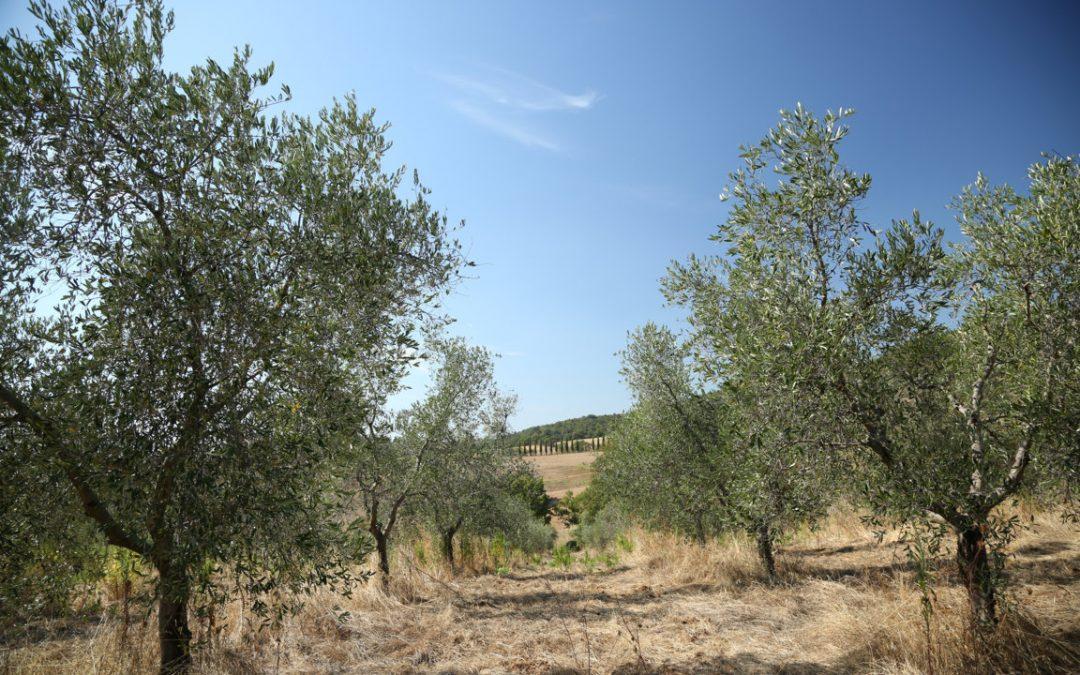 La leggenda della nascita dell'ulivo
