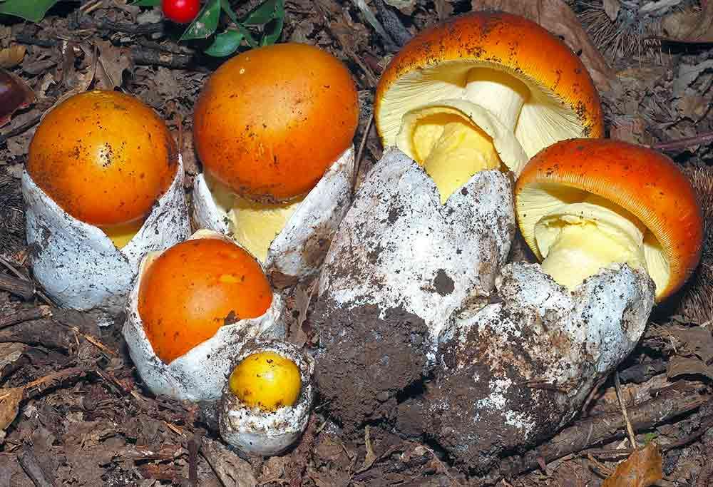 Macrolepiota procera primo piano - Funghi - I piaceri della Mare