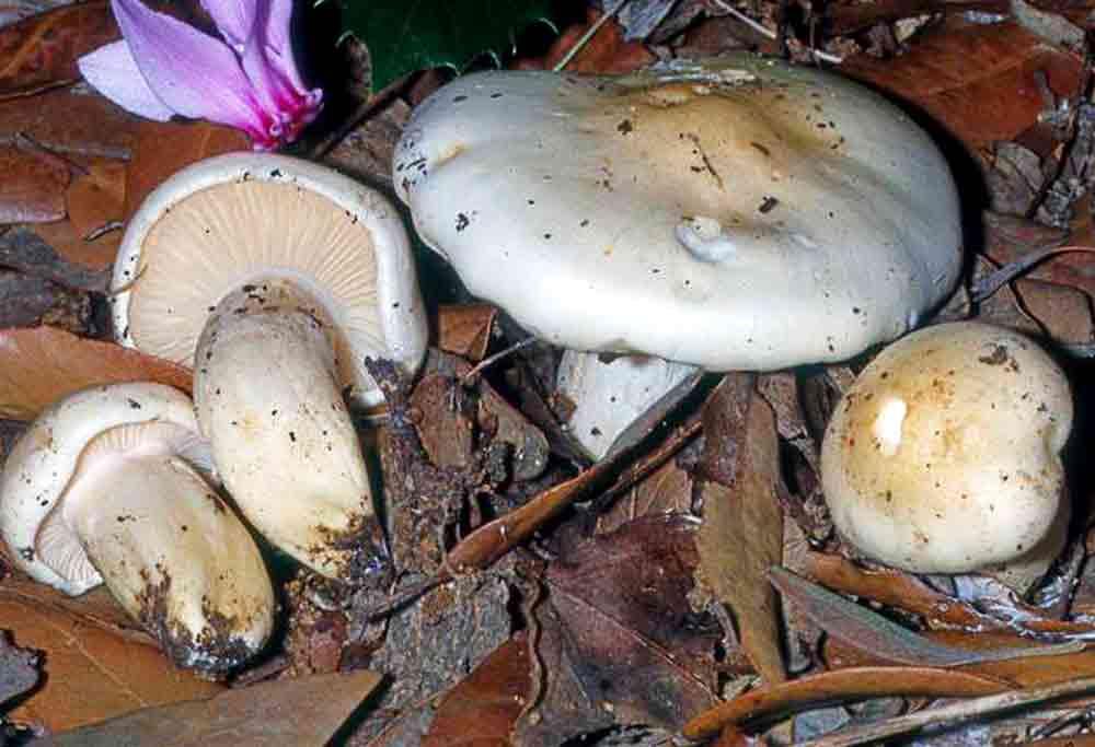 Hygrophorus penarioides Jacobsson & E. Larss. 2007 - Funghi - I piaceri della Mare