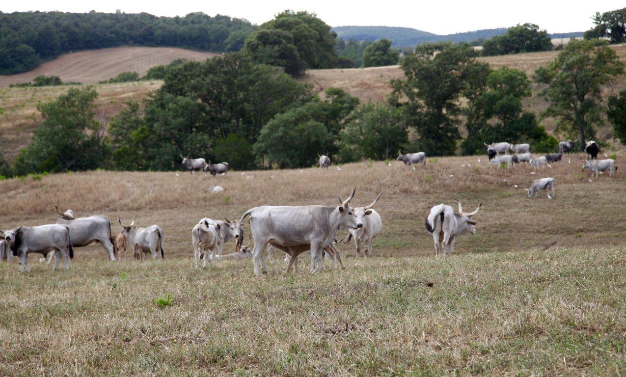 Bovini di razza marammana al pascolo nella tenuta di Santa Barbera- I Piaceri della Maremma